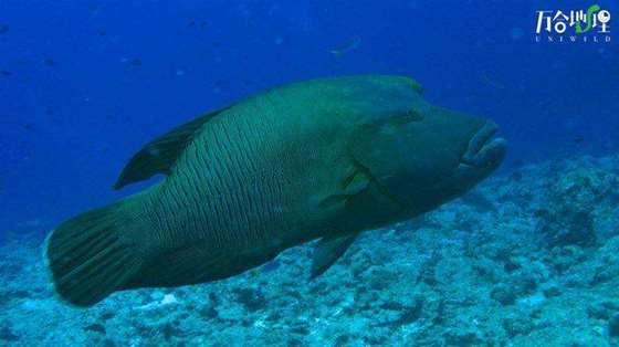 波纹唇鱼(俗称:苏梅鱼),拍摄于泰国斯米兰群岛.jpg