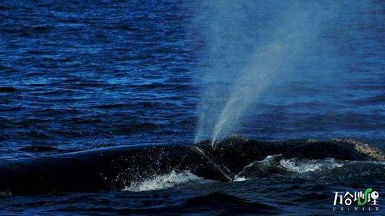 南露脊鲸,拍摄于阿根廷.jpg