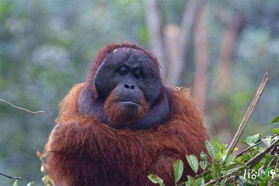 婆罗洲红毛猩猩,拍摄于沙巴.jpg