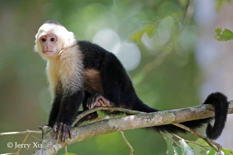 看过去年世界杯的朋友都对于一支中美洲小国的球队印象深刻,那就是哥斯达黎加。在去年夏天创造黑马奇迹的小国并不太为中国游客所知,但其实她却有着令人惊艳的自然资源。  野生动物摄影师徐征泽在今年2月份前往哥斯达黎加,在那里进行了一次与众不同的自然旅行,并拍摄了大量精彩的自然体验和野生动物的照片和视频,我们再次相约,一起来分享这个神秘国度的自然奇迹! 哥斯达黎加是中美洲小国,面积5万多平方公里,占到地球表面的0.