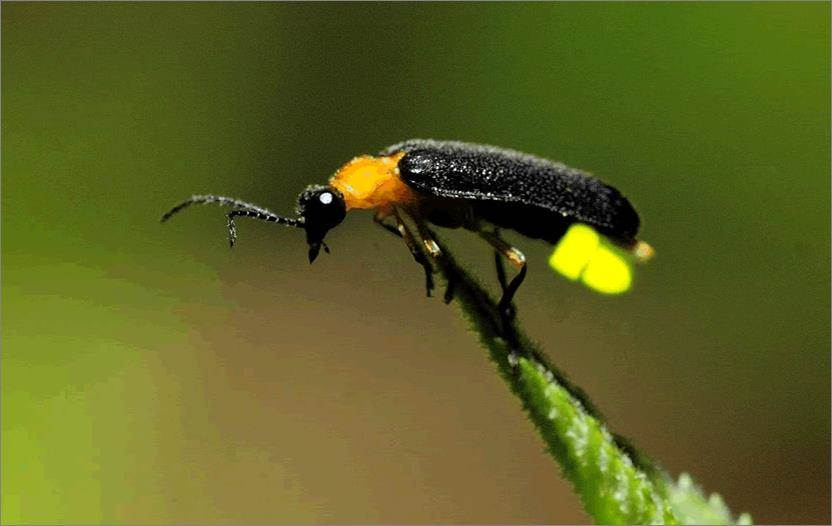 萤火虫是吃蜗牛长大的?萤火虫为什么发光?