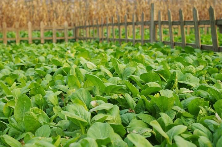 3,种植采摘蔬菜——田园乐趣
