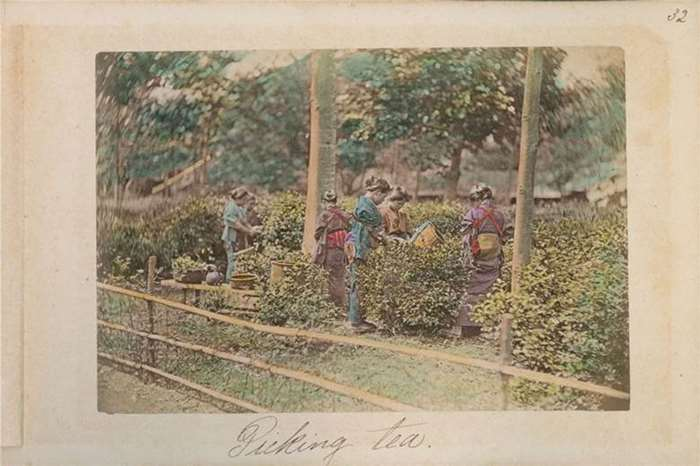 50 采茶   19世纪80年代  日本.jpg