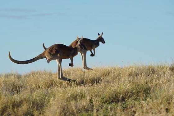 2 x kangaroo©Hopping Pictures.JPG