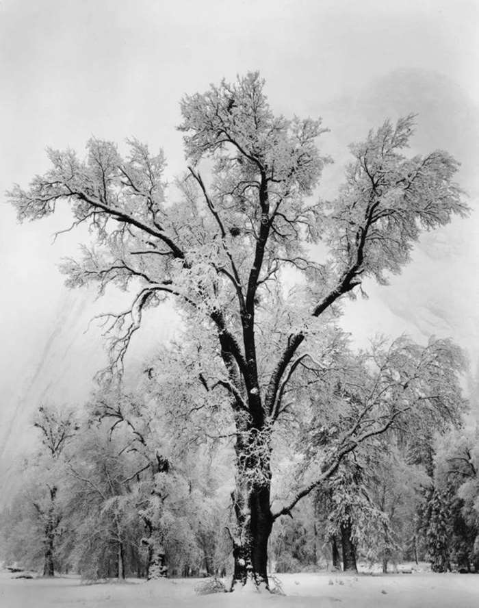 © ANSEL ADAMS,Oaktree, Snowstorm, Yosemite National Park, California,1948. Courtesy of Timeless Gallery(Beijing) .png