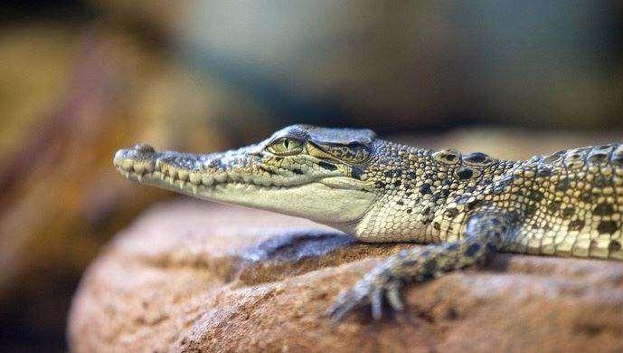 泰国鳄.jpg