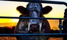 观影会|《奶牛阴谋》:畜牧业不会告诉你说的秘密