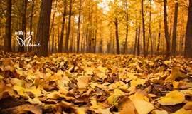 10月29日周六,漫步万亩银杏林,徒步七孔桥赏秋色,品正德春饼宴