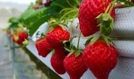 春天来了,摘草莓和烧烤更配哦!