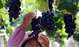 一颗葡萄,一瓶葡萄酒