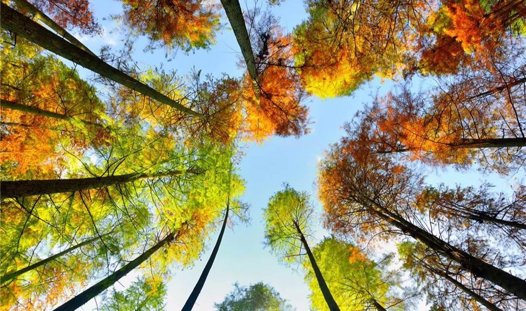 (确定出发)12月31号:赏六星营地醉美红水杉,客家围屋交友聚餐