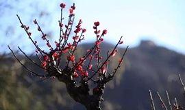 3月17日 播种绿色 赏百年梅花 登明代古长城 品虹鳟鱼 响水湖一日行摄活动