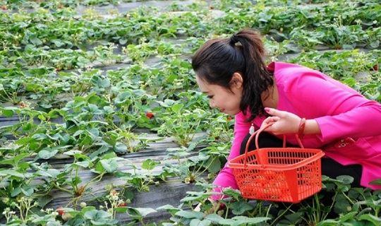 [3.17 周六] 初春泡桃花泉,采摘草莓,尝特色灶台鱼