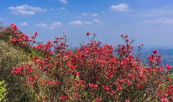 「轻装健行」4.29畅游鸬鸟山,穿越高山草甸,看杜鹃花红遍山谷