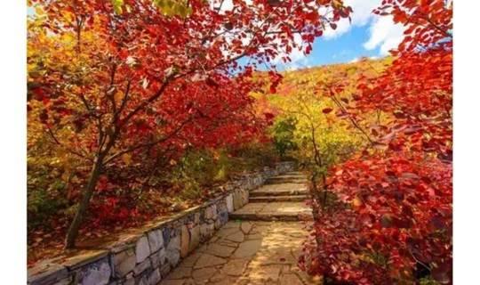 【9月22日特价】坡峰岭层林尽染秋叶红-玉虚宫-鹰嘴崖看最美烟花树-黄栌花