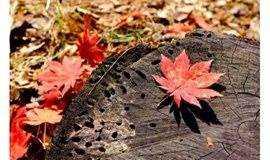 從化石門丨三千多畝紅葉,上千畝的梅花桃花李花次第綻放