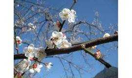 广州出发丨梁化40公顷青梅林,3000亩的梅花争奇斗艳