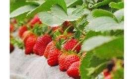 【佛山】草莓季来袭,怎么不去摘草莓!19.9元限时抢购康师傅牛奶草莓2大2小亲子草莓套票~送自摘草莓1斤,周末不加收