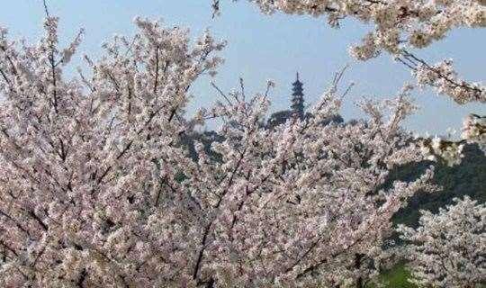 【单身专题】相约苏州赏樱花,漫步乾隆御道,观野生猕猴(1天活动)