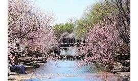 3月30日徒步北京植物园,山桃花溪、梅海飘香、桃花长廊