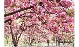 3月23日徒步玉渊潭公园,最美赏樱正当时