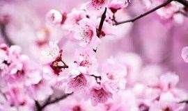 人间四月天,平谷桃花开!周六日任选一天赏桃花、挖野菜、登老象峰