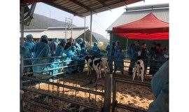 【維記牛奶】10月13日牧場參觀~近距離親近奶牛,了解牛奶的前世今生~還可以品奶牛雪糕+姜撞奶!