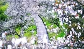 【单身专题】相约绍兴'十里梅廊',徒步十里香雪梅海(1天活动)