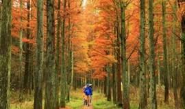 【赏秋】长乐林场秋色正浓,一起走甘岭水库,探寻最美红杉林(1天)