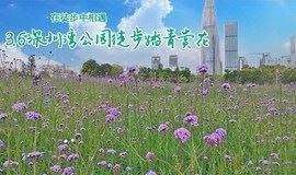 3月6日深圳湾公园徒步踏青赏花,马鞭草、风铃木盛开